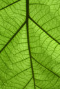 Detail Green Leaf