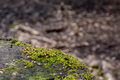 Detail of green moss on a tree trunk Royalty Free Stock Photo