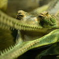 Detail of head of cayman Royalty Free Stock Photo