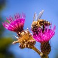 A detail on head and feelers of european honey bee, apis mellifera, sitting on thistle bloom. Body is full of pollen. Royalty Free Stock Photo