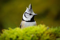 Detail hidden portrait of bird, Crested Tit, black and yellow songbird sitting on the nice lichen tree branch with, little bird in Royalty Free Stock Photo