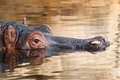 Detail of a hippo in the water Royalty Free Stock Photography