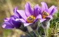 Detail of honeybee on violet flowering Pasqueflover Royalty Free Stock Photo