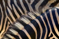 Detail horsehair zebra skin background Royalty Free Stock Image