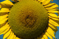 Detail of a huge sunflower in the middle field Stock Photo