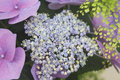Detail of hydrangea chinensis flowers stock photo Royalty Free Stock Images