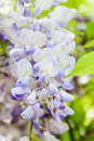 Detail of japanese wisteria wisteria floribunda in the gaden Royalty Free Stock Photo