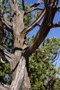 Detail juniper snag on the south rim at grand canyon national park arizona Stock Photo