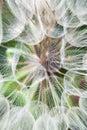 Detail large dandelion flowers parachutes Stock Photo