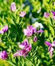 detail of Lathyrus tuberosus Royalty Free Stock Photo