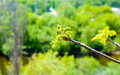 Detail of leaves sprouting on twig. Royalty Free Stock Photo