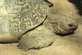 Detail leopard tortoise Royalty Free Stock Photography
