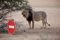 Detail of a lion in a safari in botswana walking along the road Royalty Free Stock Photography