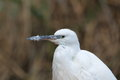Detail little egret Stock Photography