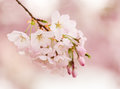 Detail macro photo of japanese cherry blossom flowers detailed a bunch bright set against a defocused pink background to give warm Royalty Free Stock Images