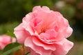 Detail macro of pink rose