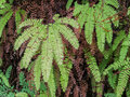 Detail of maidenhair fern moist at canyon in redwood national park california Stock Photo