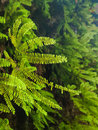 Detail of maidenhair fern moist at canyon in redwood national park california Royalty Free Stock Photos