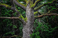Detail of majestic oak tree in forest an old a deep gloomy sweden Royalty Free Stock Photo