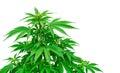 Detail of marijuana plant Royalty Free Stock Photo