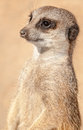 Detail of a meerkat in a zoo Stock Image