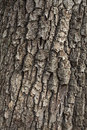Detail of oak tree bark old for natural textured background Stock Image