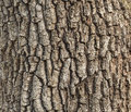 Detail of oak tree bark old for natural textured background Stock Photos
