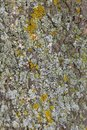 Detail of old tree bark with lichen and mos Royalty Free Stock Photo