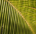 Detail of a palm frond Royalty Free Stock Photos