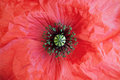 Detail papaver rhoeas Royalty Free Stock Photo