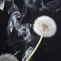 The Detail of past bloom dandelion with smoke on black blur background Royalty Free Stock Photo