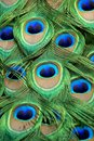 Detail of peacock feathers at the Barcelona Zoo. Royalty Free Stock Photo