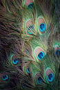Detail of peacock tail, with colourful feathers. Royalty Free Stock Photo
