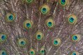 Detail of the peacok male plumage close up on mating season Stock Images