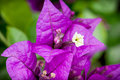 Detail photo of bougainvillea purple flowers plant in a spring garden macro Stock Images