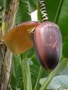 Detail photography of big banana bloom Royalty Free Stock Photo