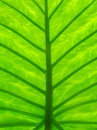 Detail photography of big green leaf Royalty Free Stock Photo