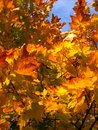 Detail photography of yellow maple leaves color autumnal Royalty Free Stock Photography