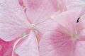 Detail of Pink hortensia, hydrangea flower close up Royalty Free Stock Photo
