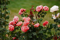 Detail pink roses on bush as floral background Royalty Free Stock Photo
