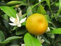 Detail of plant citrus beautiful Royalty Free Stock Photos
