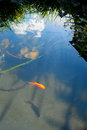 Detail of pond with fish Royalty Free Stock Photo