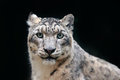 Detail portrait of beautiful big cat snow leopard, Panthera uncia. Face portrait of leopard with clear black background. Hemis Nat Royalty Free Stock Photo