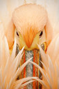 Detail portrait of orange and pink bird pelican with feathers over bill Royalty Free Stock Photo