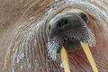 Detail portrait of Walrus with big white tusk, Odobenus rosmarus, big animal in nature habitat, Svalbard, Norway. Close-up portrai Royalty Free Stock Photo