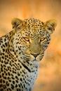 Detail portrait of wild cat. African Leopard, Panthera pardus shortidgei, Hwange National Park, Zimbabwe, portrait portrait eye to