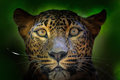 Detail Portrait Of Wild Cat. S...