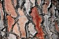 Detail of a red pine tree bark in Stock Photography