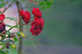 Detail of red roses bush as floral background. Close up view of red roses in Caucasus. Azerbaijan Royalty Free Stock Photo
