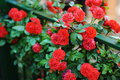 Detail of roses bush as floral background Royalty Free Stock Photo